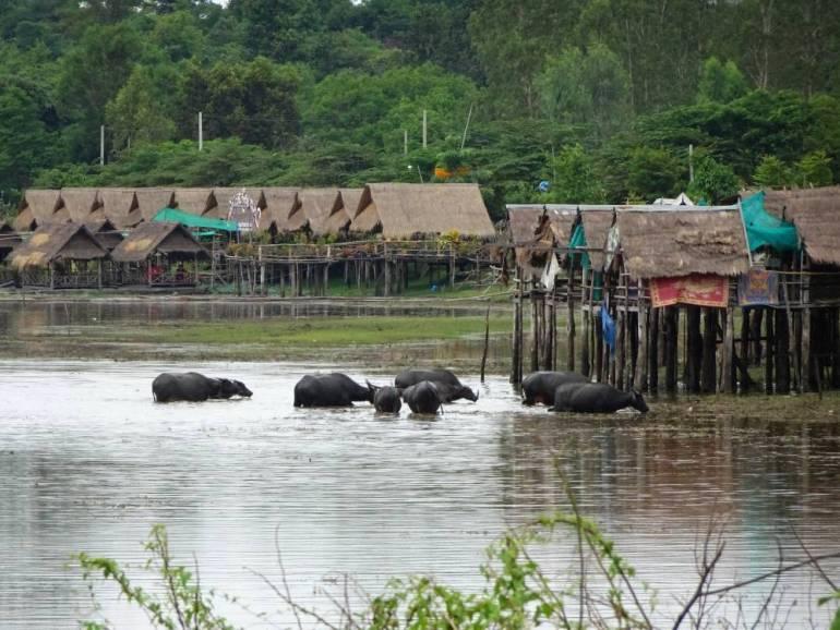 Wasserbüffel im See