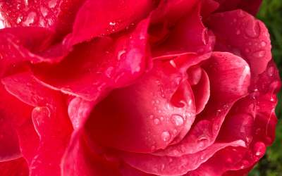 Raindrops on roses and other favorite things