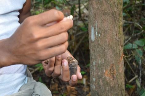 Larvas da castanheira são alimento, Amazônia, 2014, por LP