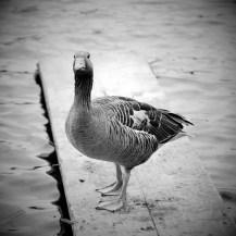 Ducky Portrait