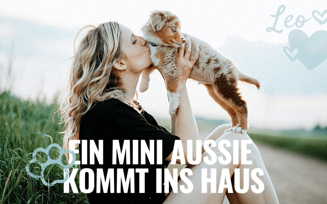 Mini Aussie Welpe kommt ins Haus Youtube Video Miniaussie.dog
