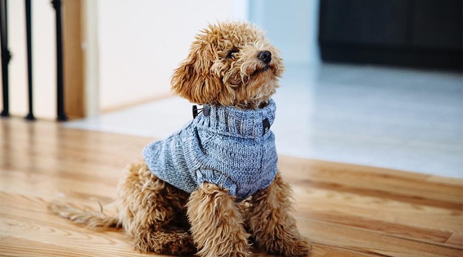 Ultimate Fluffy - Mini Goldendoole puppy