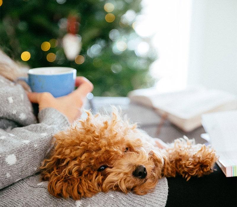 Mini Golden Doodle Dog Pet
