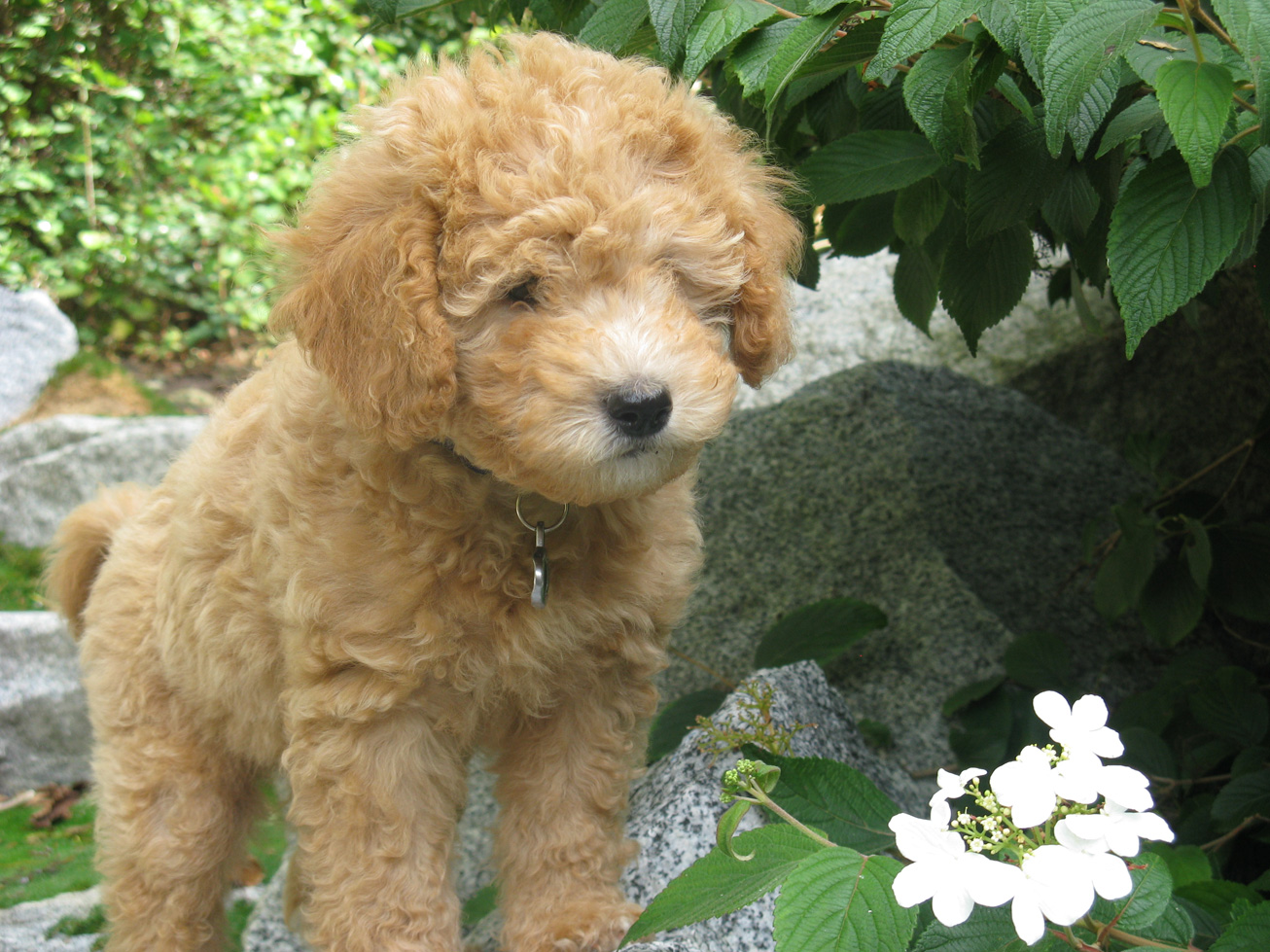 Small MiniGoldenDoodle Puppies