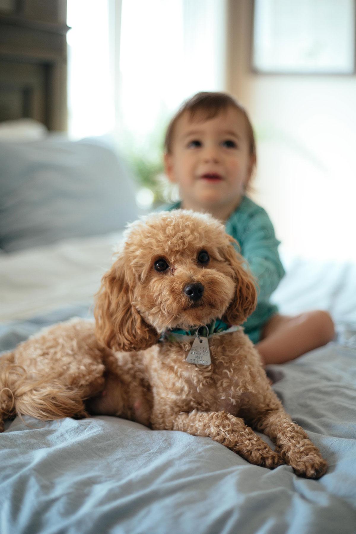 Petite Mini Goldendoodle breeder