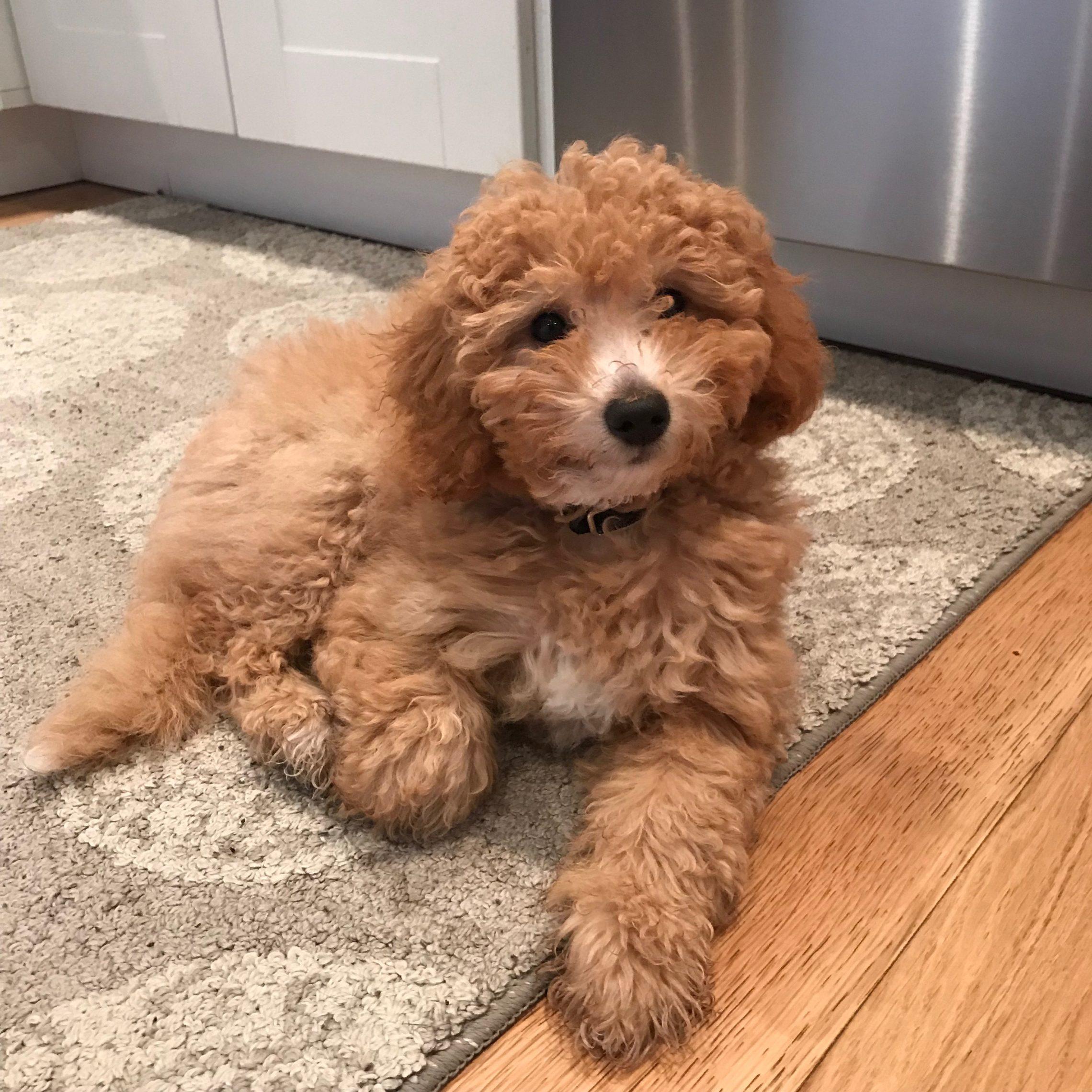 Mini Goldendoodle Puppies