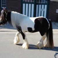 Shire Horse History R/T Gypsy Cobs