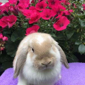 Daisy - fawn butterfly mini lop doe