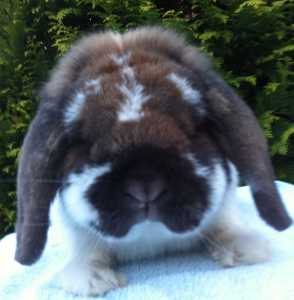 Oden - sooty fawn butterfly dwarf lop buck - Useful rabbit information links
