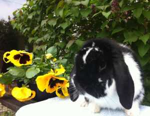 Samuel - stunning black butterfly dwarf lop buck - Useful rabbit information links