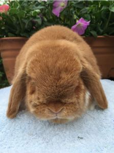 Sox - orange mantle mini lop doe