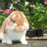 Scottish Dwarf Lops and Mini Lops
