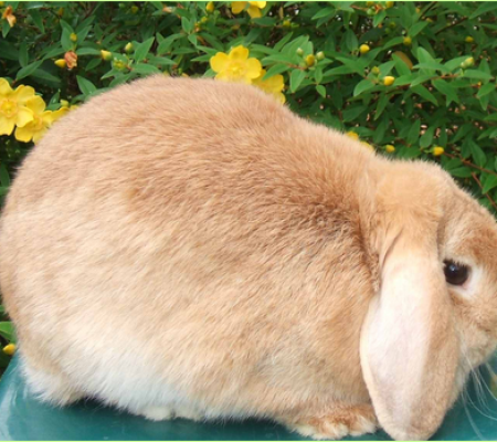 mini lop rabbit and dwarf lop rabbit