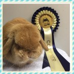 Terry - Orange mini lop