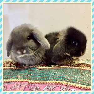 Baby Mini Lops in Larbert
