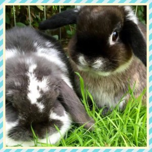 Baby Mini Lops in Glasgow