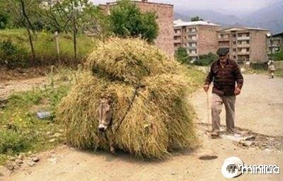 funny-overloaded-donkey-ass-photo-hay