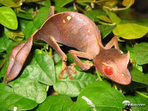 Uroplatus-phantasticus