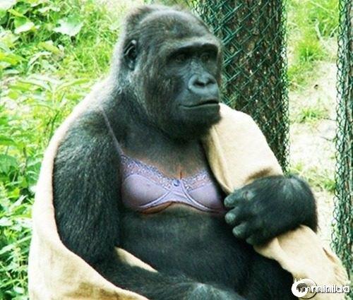 Big-breasted-gorilla--21629