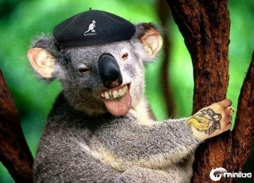 Cool-Koala--21575