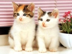 Twin-White-Cats