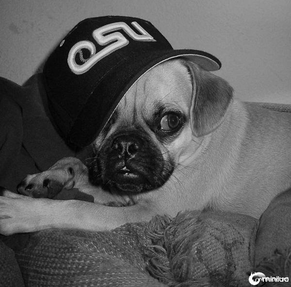 gangster_pugs_640_15