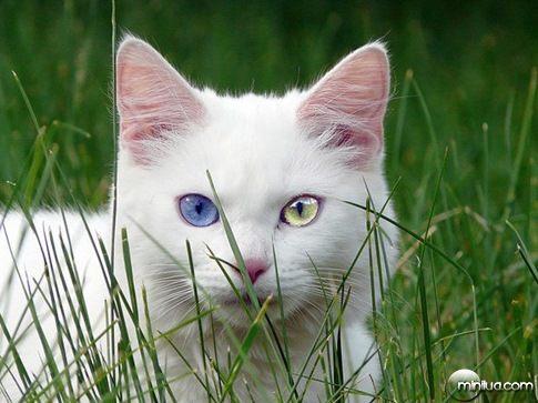 heterocromia gato branco_thumb[2]