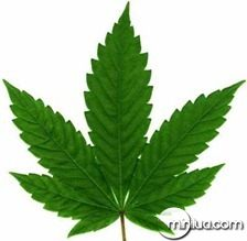 cannabis_spp_leaf