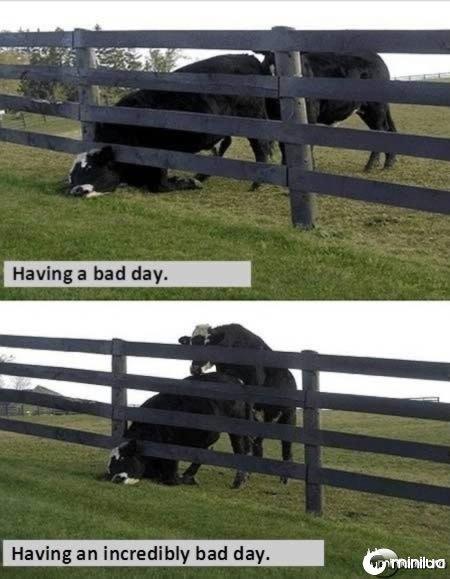 a98137_unlucky_11-cow2