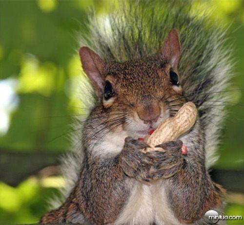 esquilo-amendoim
