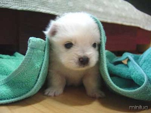 mini-dog-pic11236