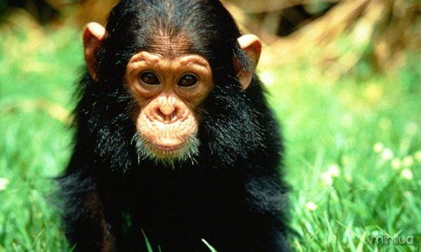 galeria-filhotes-fofos-chimpanze
