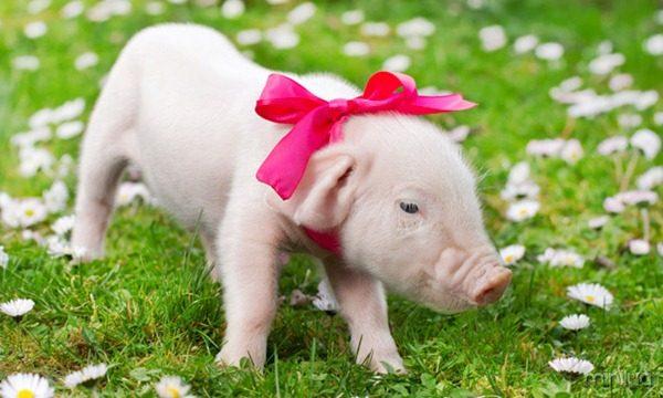 galeria-filhotes-fofos-porco