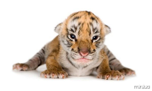 galeria-filhotes-fofos-tigre