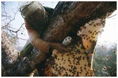 Bahadur uses a small rope to cut the honey from the nest.<br /><br /><br /> Bahadur decoupe la poche de miel du reste du nid avec une cordelette.<br /><br /><br />