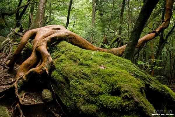 Impenetrable_forests_Yakushima_island_10