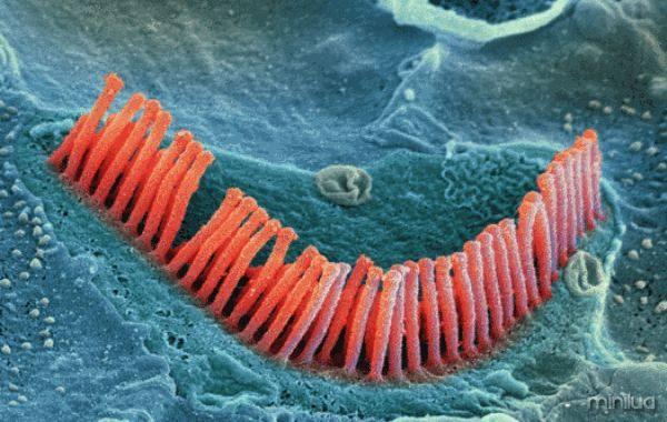 ciliosouvido