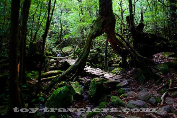 toy-travel-japan-yakushima-unesco-heritage-cedar-tree_5628