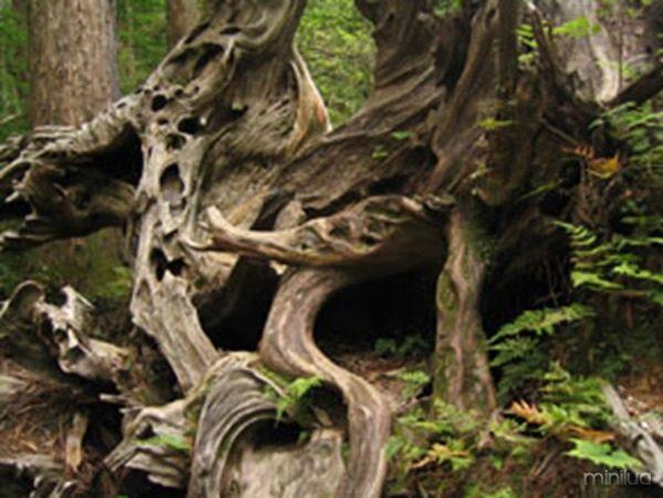 yakushima_tree