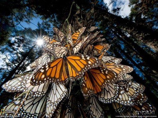 fotos da natgeo borboleta[7]