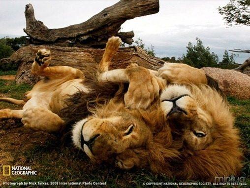 fotos da natgeo leoes[3]