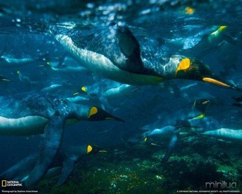 fotos da natgeo pinguins[7]