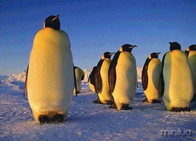 pinguim_08