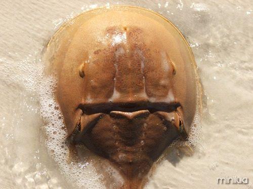 Horseshoe_crab