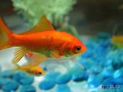 18_peixe_dourado_sobrevivente