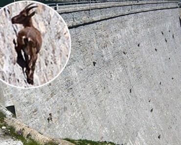 Cabras: Os animais mais loucos do mundo