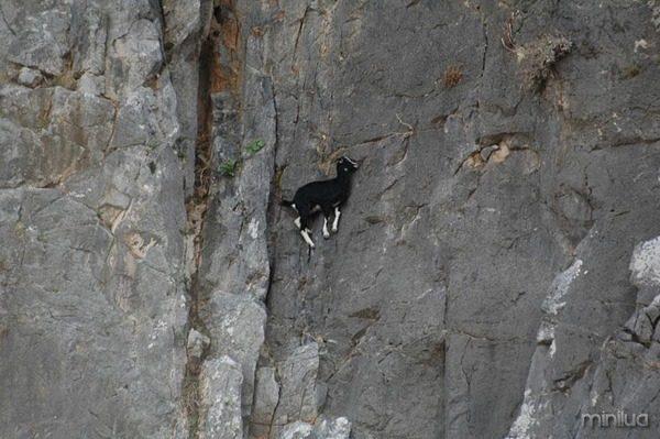 crazy-goats-on-cliffs-1