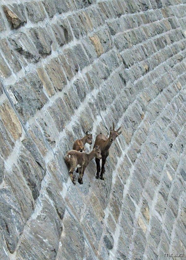 crazy-goats-on-cliffs-5