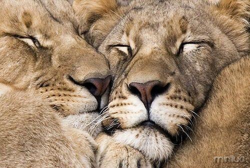 lion-love