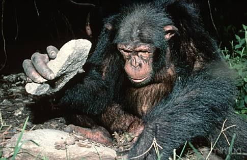 chimp_anvil